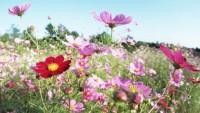 Kırçiçeği Resimleri